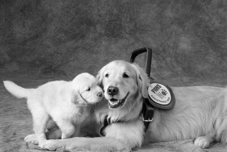 Puppy snuggling up to service dog