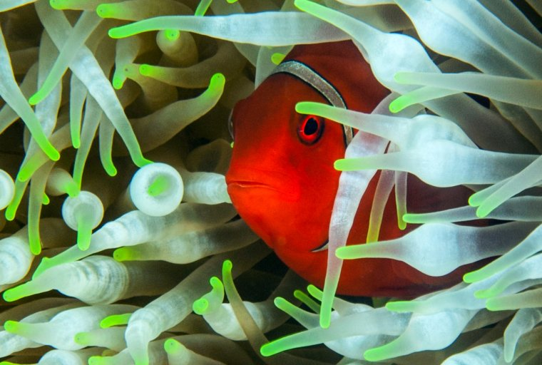 Peekaboo — Anemonefish, taken in Papua New Guinea by Lucy S. Wu. High resolution version available upon request.