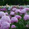 University of Michigan Nichols Arboretum Peony Garden in bloom. Photo by Michele Yanga.