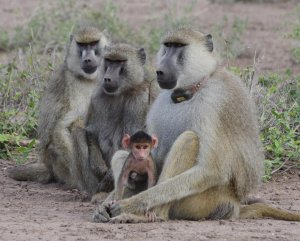 Baboons Image credit: Beth Archie