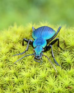Ground beetle, irridescent blue. Credit: Jose L. Inostroza