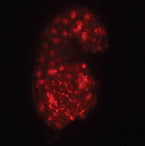 NAP-1 stained red in microscopic slide of worm embryo
