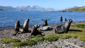Seals in Antarctica, research ship in background