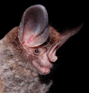 Bat cranial evolution