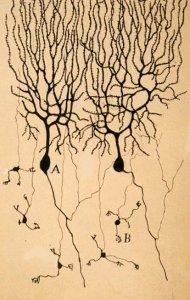 bran cell drawing