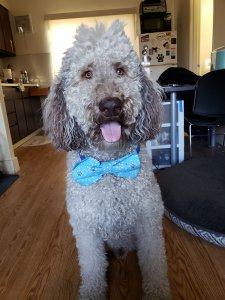 A large white poodle in a blue bow tie