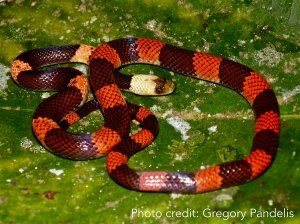 Red and black striped snake. Image credit: Gregory Pandelis.
