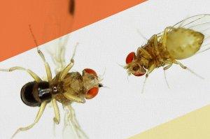 2 fruit flies facing each other