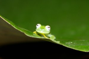 small green frog sitting on a green leaf looking pensive