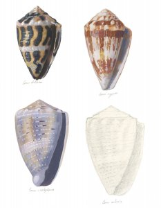 Illustration of 4 coneshells of different colors by John Megahan