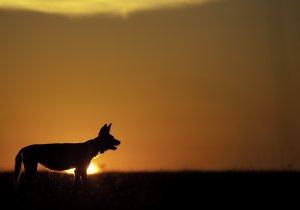 Wild dog at sunset, EEB Seminar