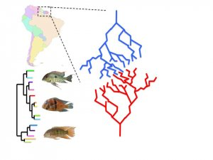 Diagram showing map of South America, fish phylogenies