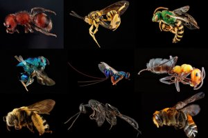 Colorful images of 9 flies, wasps and ants showing diversity. Image courtesy of Sam Droege, USGS