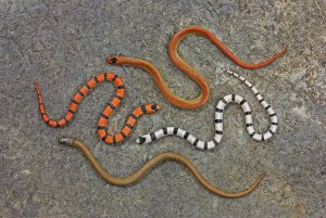 Four sonora snakes curled up near each other, orange with black stripes, white with black stripes, a solid orange and a solid brown