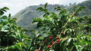 Blue mountain coffee farm in Jamaica