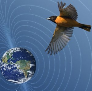 View of Earth with magnetic field lines around it and a baltimore oriole, view from underneath, with outstretched wings flying by