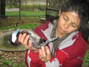 Dr. Patricia Brennan holds a male Ruddy Duck.
