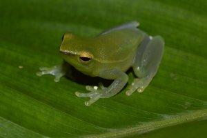 Joanna's favorite frog: Sphaenorhynchus lacteus. Photo credit: Consuelo Alarcon Rodriguez