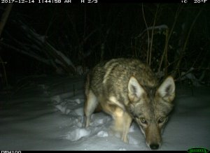 camera trap image of a coyote in the snow, closeup