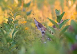 Doe's head peering out from behind leaves and flowers, soft focus. Image credit: J. Hartsock