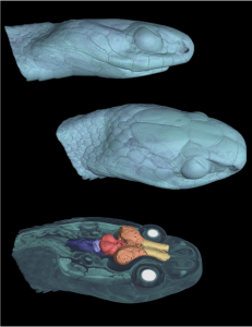 3D CT scan of snake heads and brain