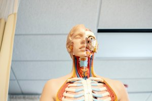 life-size medical mannequin showing parts of the human anatomy